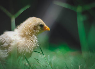 poultry business in armenia consulting